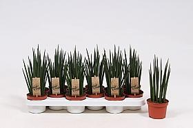 Sansevieria mikado 30 cm 102522