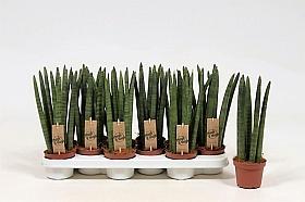 Sansevieria straight 30 cm