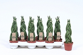 Sansevieria twister 35 cm