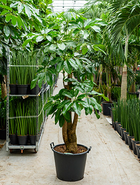 Schefflera amate 225 cm Bonsai