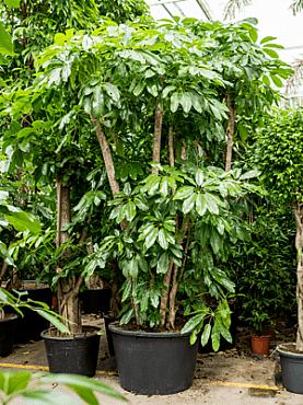 Schefflera amate D150xH400 cm Copacul umbrela