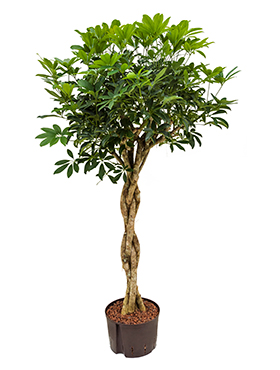 Schefflera arboricola 170 cm Copacul umbrela