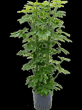 Schefflera arboricola D40xH140 cm Copacul umbrela