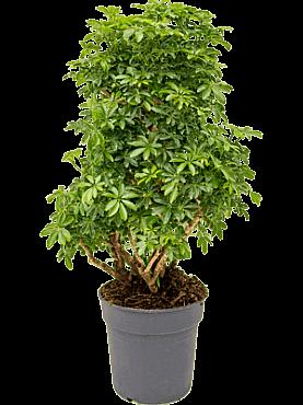 Schefflera arboricola D50xH100 cm Copacul umbrela