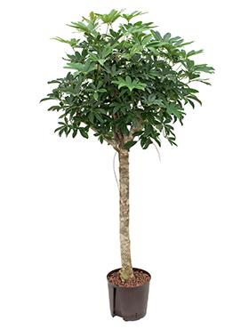 Schefflera arboricola D60xH120 cm Copacul umbrela