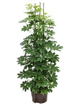 Schefflera arboricola D60xH150 cm Copacul umbrela