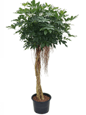 Schefflera arboricola D75xH185 cm Copacul umbrela