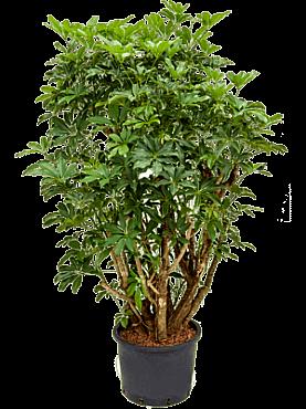 Schefflera arboricola D90xH160 cm Copacul umbrela