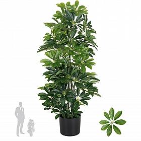 Schefflera arboricola H90 cm cu 591 frunze