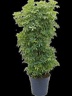 Schefflera louisiana D40xH120 cm Copacul umbrela