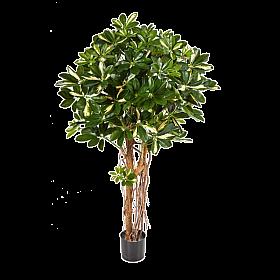 Schefflera Umbrella variegata 110 cm