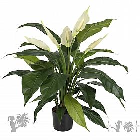 Spathiphyllum De Luxe 73 cm
