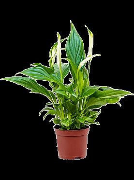 Spathiphyllum pearl cupido D15xH35 cm