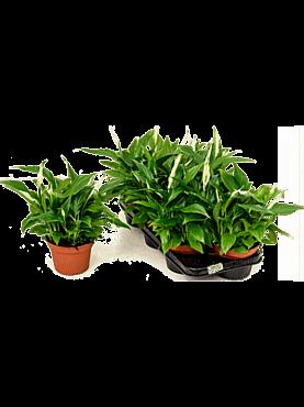 Spathiphyllum pearl cupido D30xH40 cm