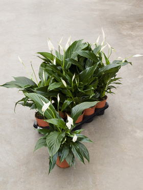 Spathiphyllum sweet romano 55 cm Crinul Pacii