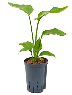 Strelitzia nicolai 70 cm Pasarea paradisului - Floarea macara