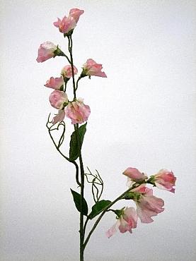 Sweet pea HO roz Lathyrus