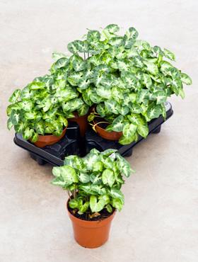 Syngonium pixie D25xH25 cm Planta sageata