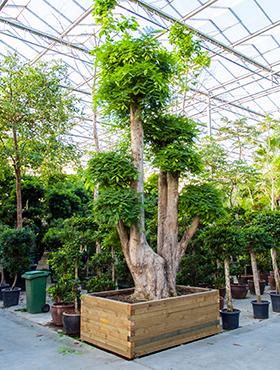 Tamarindus indica 550 cm Tambran - Sampaloc - Bonsai