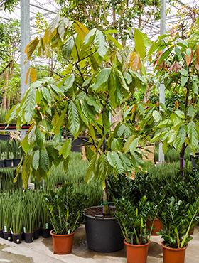 Theobroma cacao 350 cm 89249 Arborele de cacao - Lemnul de cacao