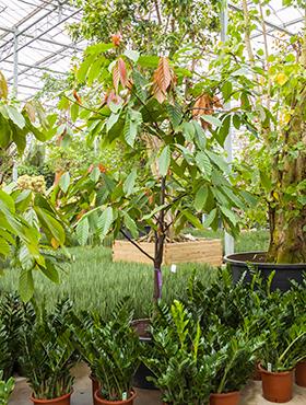 Theobroma cacao 350 cm Arborele de cacao - Lemnul de cacao