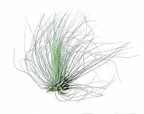 Tillandsia Argentea D5xH8 cm