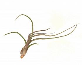 Tillandsia Baileyi M D4xH10 cm