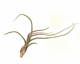 Tillandsia Butzii L 20 cm
