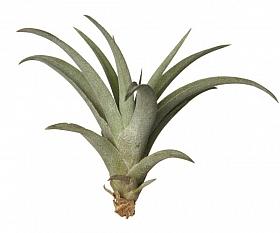 Tillandsia Capitata verde D6xH10 cm