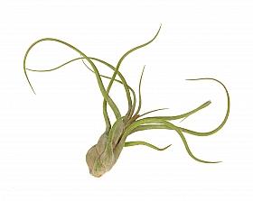 Tillandsia Caput Medusae M D6xH15 cm
