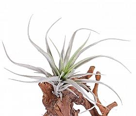 Tillandsia Fresnelloides 25cm, verde