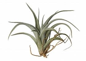 Tillandsia Fresnelloides D15xH12