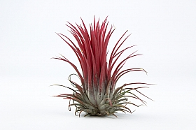 Tillandsia Ionantha rosu D8xH8 cm