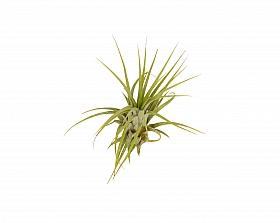 Tillandsia Ionantha verde D8xH8 cm