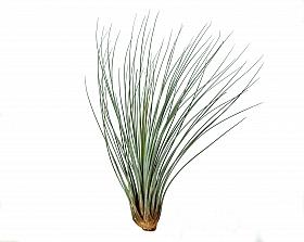 Tillandsia Juncea L D10xH35 cm