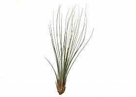 Tillandsia Juncifolia L D8xH30 cm