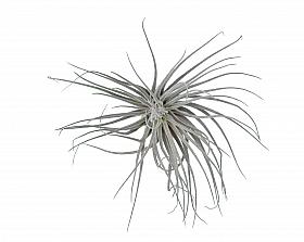 Tillandsia Magnusiana D7xH12 cm
