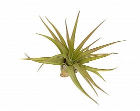 Tillandsia Multiflora L D8XH15 cm