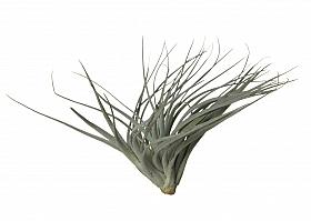Tillandsia Silver D8xH10 cm