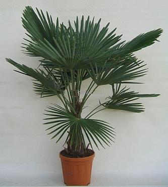 Trachycarpus fortunei 140-160 cm Palmier moara de vant - Chusan palmier