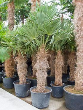Trachycarpus fortunei 265 cm Palmier moara de vant - Chusan palmier