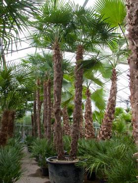 Trachycarpus fortunei 525 cm Palmier moara de vant - Chusan palmier