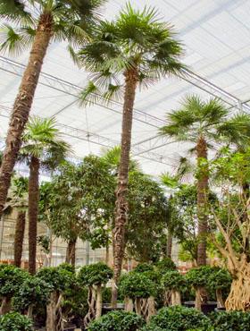 Trachycarpus fortunei 975 cm Palmier moara de vant - Chusan palmier
