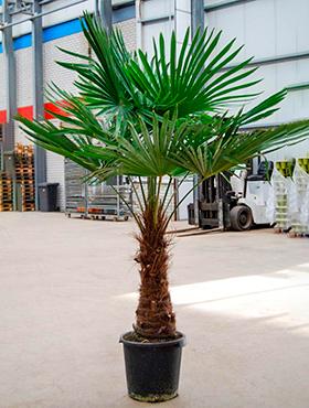 Trachycarpus fortunei D110xH175 cm