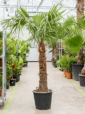 Trachycarpus fortunei D150xH220 cm