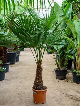 Trachycarpus fortunei Tr45-50 H180 cm