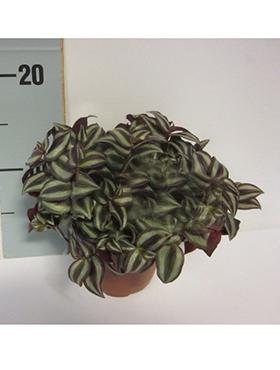 Tradescantia zebrina D20xH20 cm Zebrina pendula - Planta evreu ratacit