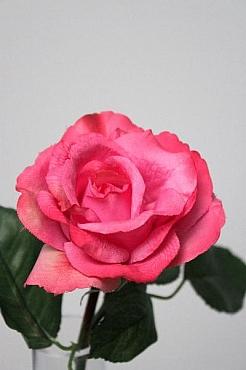Trandafir 30 cm HO fuchsia