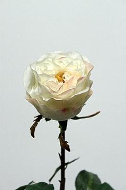 Trandafir Englishc 54 cm HO crem