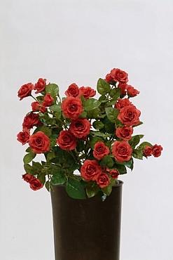 Trandafiri HO rosu